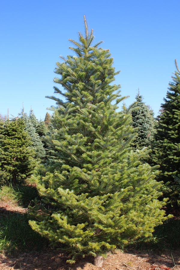 Frasier Fir Christmas Tree.Frasier Fir Christmas Tree